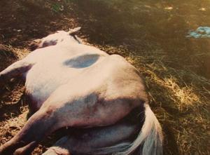 En av hästarna på gården avlivades.