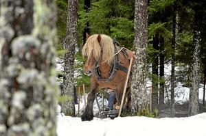 Flockdjur. Länsstyrelsen beskriver hur hästar är sociala djur som är i behov av social, helst fysisk, kontakt med andra hästar. Därför får inte hästägaren i Askersund fortsätta ha sin ardenner ensam. Arkivfoto: Göran Kempe.