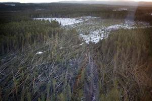 I närheten av Bräcke har stormen orsakat stora skador på skogen.