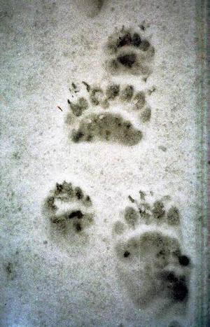 Björnarna har börjat vakna. De första observationerna har redan inrapporterats.Foto: Berit Kristoffersson