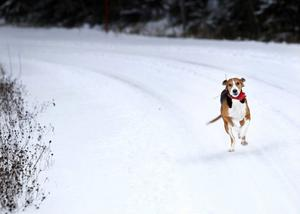 Daisy återkommer i full fart efter en lyckad harjakt.