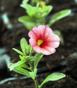 Den söta lilla million bells-blomman kommer snart att nypas av för att grena sig och bli kraftig.