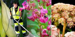 Jättebalsamin och jätteloka är två av växterna som boende i Stockholms län kan behöva oroa sig för.