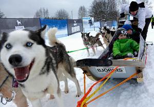 Alwin Nord Berglund och Oliver Lund gör sig redo för en fartfylld tur bakom draghundarna.Foto: Niklas Andersson