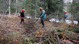 Det finns många anledningar till att ungskogar inte bli röjda. Förkylningar, ideella åtaganden, förvärvsarbete, andra tvingande saker såsom växande gräsmattor, skriver LT:s krönikör Jonas Hamner.