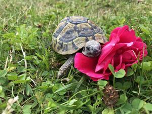Leia är vår lilla grekiska landsköldpadda. Här njuter hon i solen på vår gräsmatta i Bomhus. Foto: Emma Arbinger