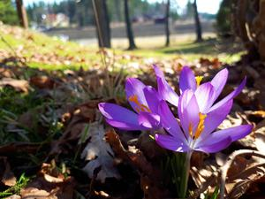 Årets trea i NT:s vårbildstävling, så här skriver Daniel om sin bild: Vårbild från Roslagsbro, där de första blommorna syntes till under en solig dag i april. Jag tycker att våren är en vacker årstid. Solen värmer, fåglarna kvittrar, snön smälter bort och många fina blommor börjar kika fram i trädgården. Foto: Daniel Hagström