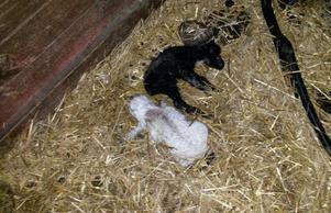 Flera lamm låg döda inne i ligghallen.