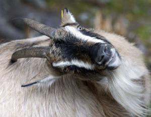 Även getter kan utgöra en del av statistiken i det nya djurhälsoregistret.