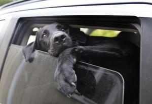 En varm bil kan bli en dödsfälla för hunden. Foto: Jon Eeg
