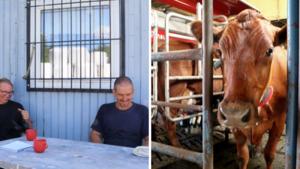 """Örebro bäst i landet på ekomjölk – men lönsamheten går ned: """"Lägger hellre extratimmarna på en hobby"""""""
