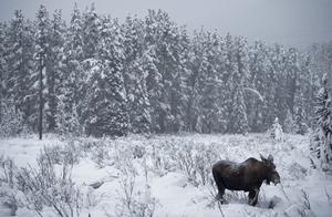 Snön ställer till det för älgjägarna.