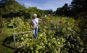 """På den odlingslott som Elisabet tog över i våras växer flera vinbärsbuskar. """"Det här är ett paradis. jag älskar att vara här"""", säger hon."""