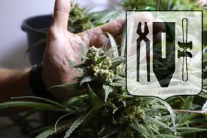 Cannabisen odlades för andras bruk. Bilden är ett montage av genrebilder.