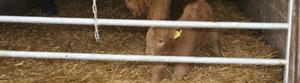 Den nyfödda kalven som överlevde rovdjursangreppet får stanna inomhus.
