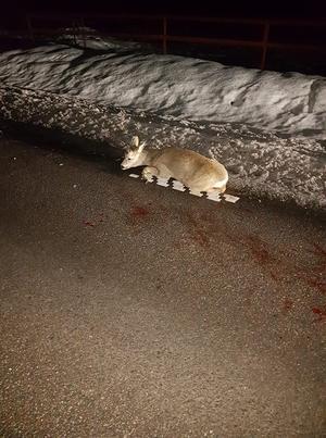 Rådjuret blev påkört av en smitare. Djuret levde fortfarande när Anders Wiklund kom till platsen trots att tre av benen var av.