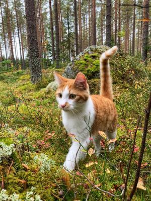 Katten Tore som älskar att följa med och leta kantareller. Bild: Buster Jonsson