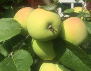 Äppelskörd. Foto: Göran Greider.