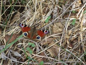 En vacker fjäril men inte på Haga