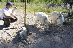 I Los kan Daniel Wallberg ta det lugnt – och ägna sig åt fritidssysslor. Som de fyra getterna och gråhunden Kili.
