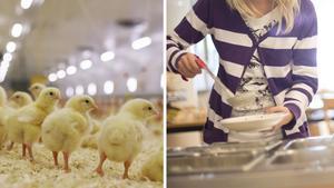 Tyvärr är det fortfarande vanligt med importerad kyckling i de svenska skolmatsalarna och på sjukhus – det är något de lokala politikerna måste jobba med, skriver Jenny Andersson, ordförande Svensk Fågel. Bild: Svensk Fågel & TT
