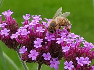 Jätteverbena är en favorit hos många insekter.