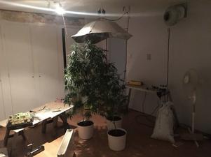 I ett annat rum anträffas anträffas tre stora cannabisplantor mitt i rummet. I rummet finns även stora fläktar, värmelampa och element. Bild: Polisen