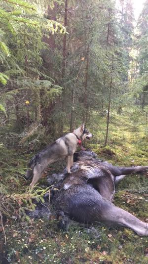 Hund efter avslutad jakt på Ovanåkers östra vvo Kyans jaktlag Foto: Pär Sedvallsson