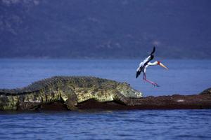 En krokodil och en gulnäbbad stork. FOTO: GUNNAR LUNDSTRÖM