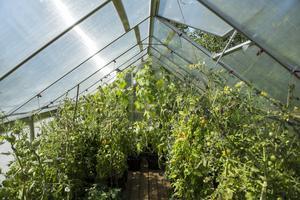 I sitt stora växthus odlar Monica tomat och gurka.