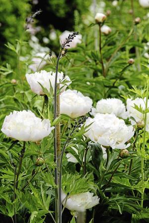 Pionerna, Festiva Maxima, brukar blomma som finast ett par veckor efter midsommar på Sångs.