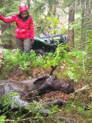 Räddad. Efter en tapper insats från fyra man och en fyrhjuling räddades älgen som fastnat i ett sumphål. Efter att den hämtat sig lämnade den platsen.
