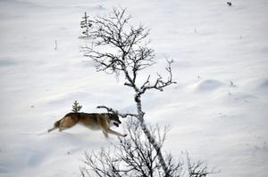 Den försvunne varghannen fotograferad innan den märktes och flyttades till Karlsborgsskogarna.