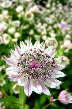 Trogna. Stjärnflockan står i blom i Anna Malins trädgård, trots att den fått flytta till en ny växtplats.