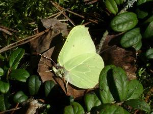 En närbild på Citronfjäril tagen den 13/4 2010 taget i skogen i Salbohed.