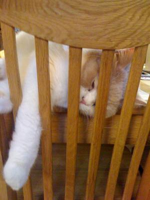 Efter frukost tillsammans med matte, då blir man ganska trött. ( Får faktiskt äta min mat på bordet när husse inte är hemma).Mi älskade katt Rufus, en brittisk korthårskatt, han är en riktig sömntuta och kan somna i många olika ställningar.