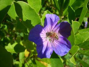 Beundrade min vackra trädgårdsnävor i solen och såg den lilla insekten i blomman.