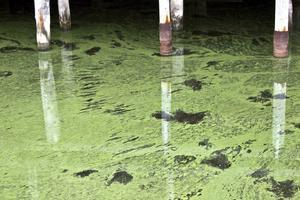 Algerna i hamnen är sannolikt blågrönalger, cyanobakterier, av arten Nodularia Spumigena eller Microcytis Aeruginosa, båda giftiga.