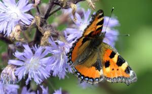 Nässelfjärilen är den tredje vanligast noterade av landets många fjärilsräknare, med luktgräsfjärilen på första och slåttergräsfjärilen på andra plats.