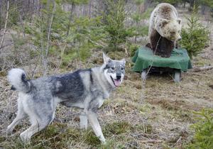 Ettåriga jakthunden Liza vart inte speciellt rädd för det rullande rovdjuret.