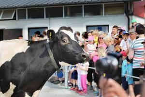 Den här kon stannade upp och verkade väldigt förvånad över att det var så mycket folk som vill se på när hon gick ut i hagen.