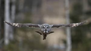 Lappugglan bjöd på ett spännande möte för några år sedan, när den kom flygande genom skogen. Ugglor hyser Lars Altberg en särskild förkärlek till.