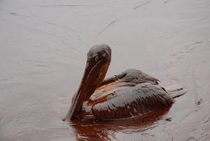 En pelikan indränkt i olja efter läkage i Louisiana 2007.