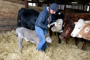 Alla djur måste vara öronmärkta och här är det en kalv som ska få sina gula örhängen fastsatta.