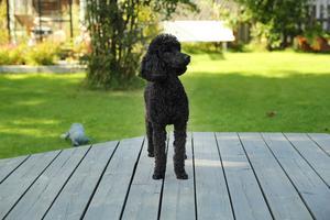 Hunden Hippi kom från ett omplaceringshem till familjen Tangfelt när hon var åtta månader gammal. Då var pudeln rädd för människor. Nu tävlar hon mot världseliten i agility.