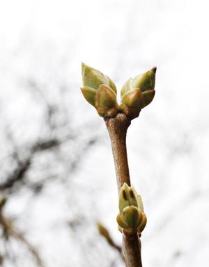 Snart blommar  syrenerna.
