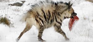Trafikdöden föder hyenorna på zoo. Foto: Jan Andersson