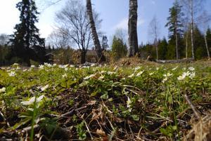 Trädgård. Nu täcks marken av vitsippor, men kanske dyker gamla kulturväxter upp när de får mer luft och ljus.