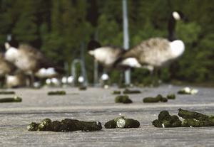 Bajsande gäss är bara ett av problemen vid bryggan nära Strandgården, menar skribenten. (arkivbild) Foto: Thomas Brandt