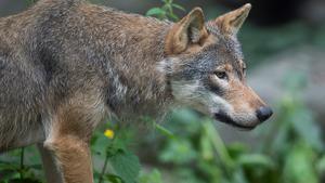 Under sena onsdagskvällen blev en hund attackerad av den oskygga vargen som observerats på olika håll i Edsbyn. Vargen på bilden har inget med artikeln att göra.